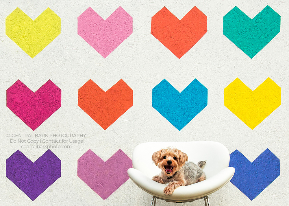 Yorkie dog sitting in a white chair in front of a wall mural of multi-colored hearts