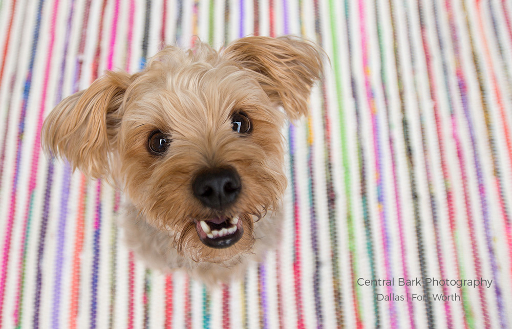 Yorkie dog sitting on striped rug