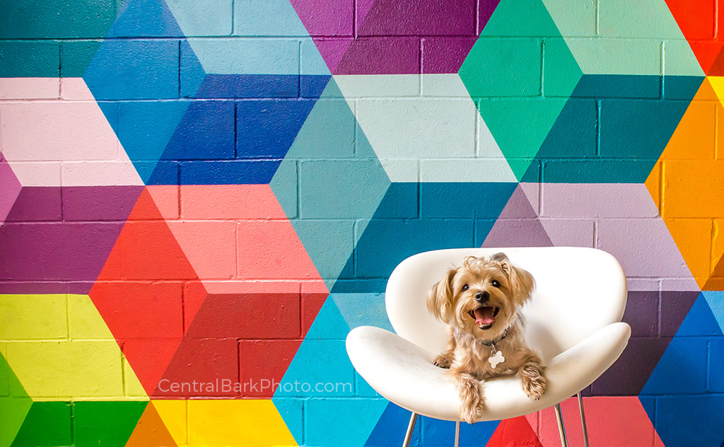 Yorkie dog in white chair by colorful wall mural for Dallas dog photography