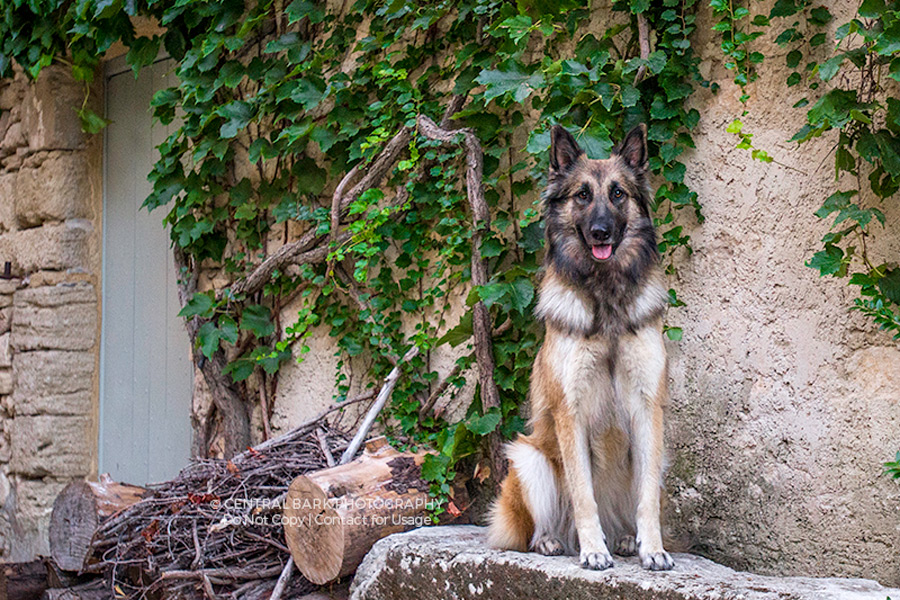 Belgium tervueren dog sits in ivy draped courtyard poses for travel pet photographer