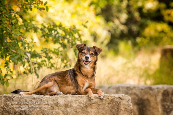 Chihuahua mix dog on rock in park smiles for Frisco dog photographer