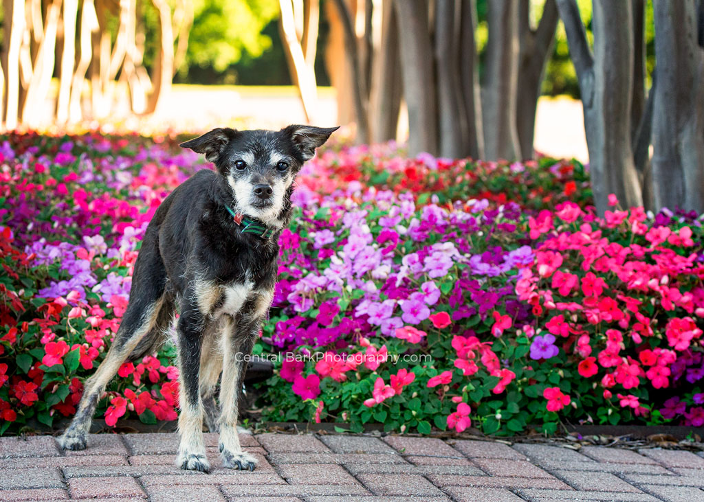 Mix breed dog by flowers poses for Dallas dog photographer