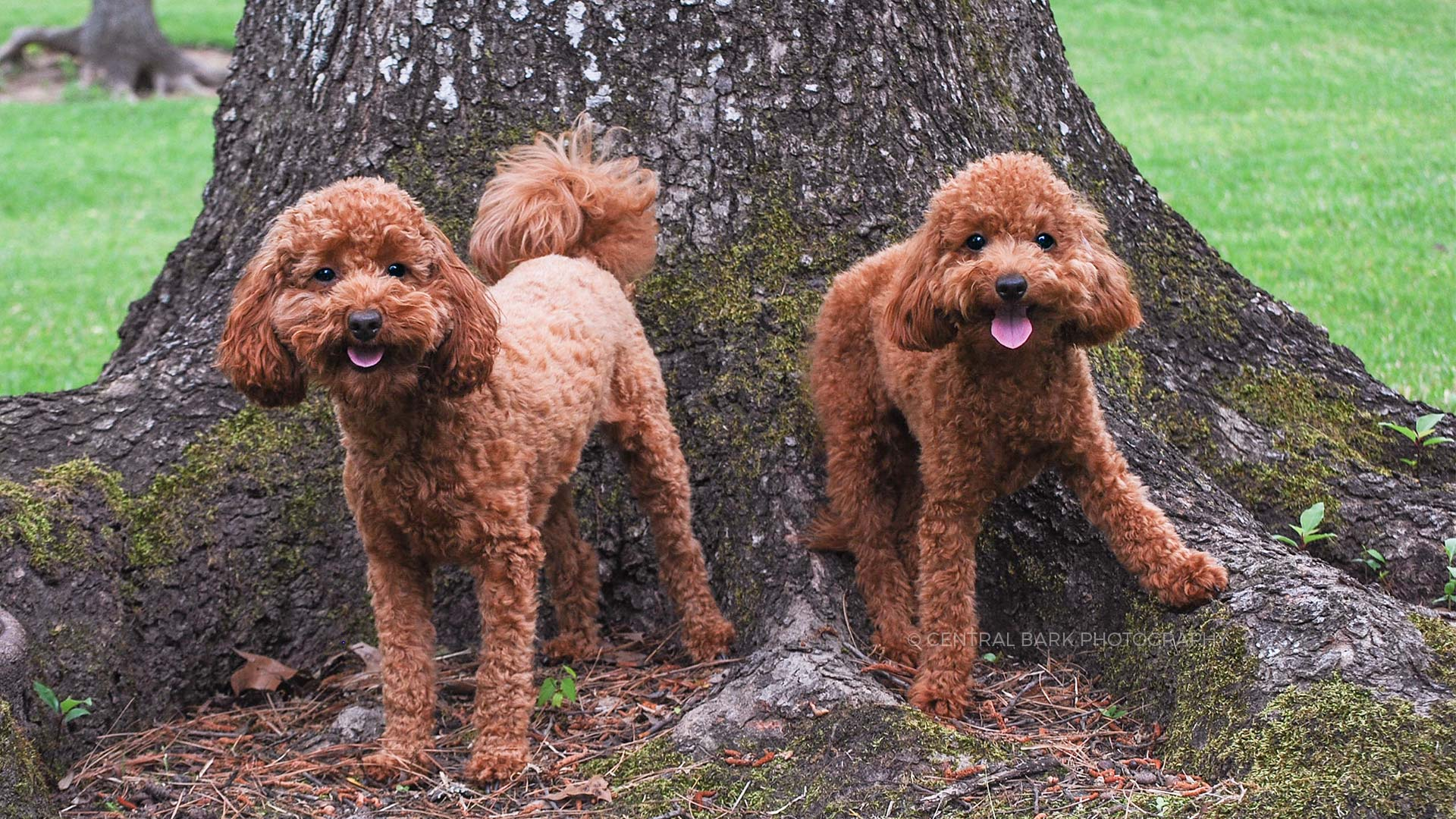 two brown poodles standing by large tree in park for plano pet photographer