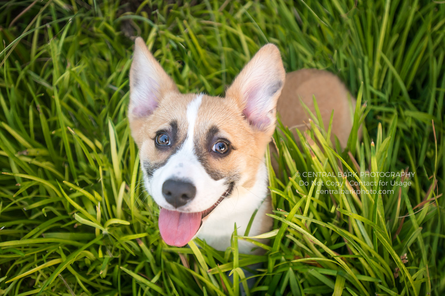 corgi in grass smiling for frisco dog photographer