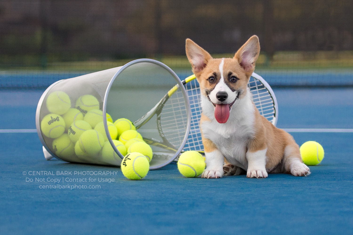 corgi dog on frisco tennis court with balls and racquet