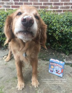 Golden retriever Rudy with ice cream on his nose