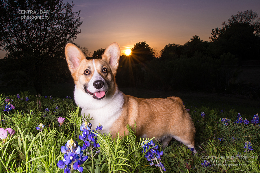 corgi dog in bluebonnets at sunset smiling for mckinney dog photographer