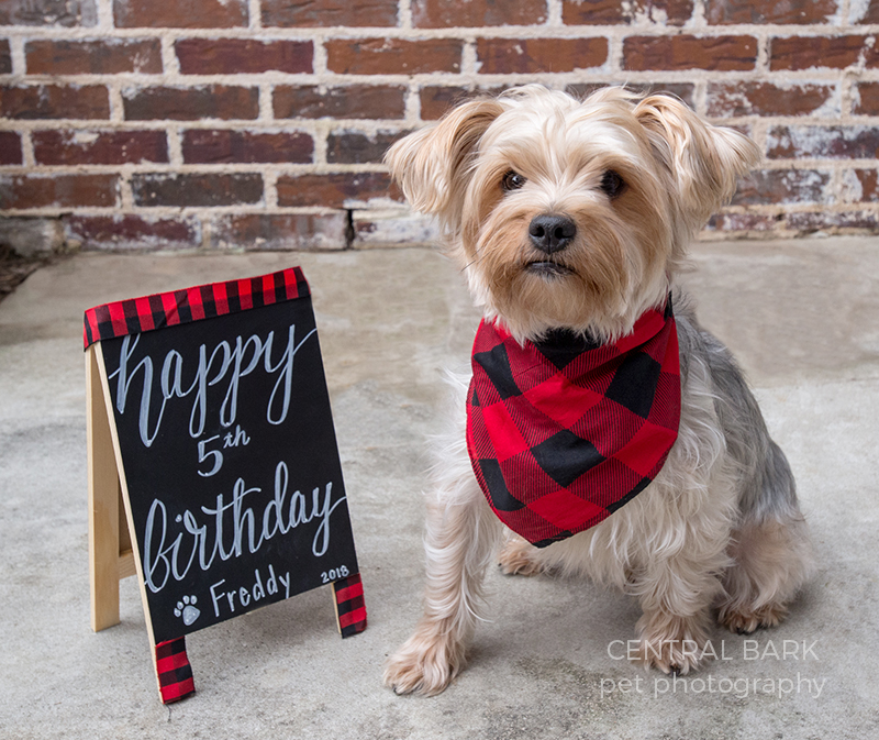 Yorkie wearing buffalo check bandana and a happy birthday sign for his birthday