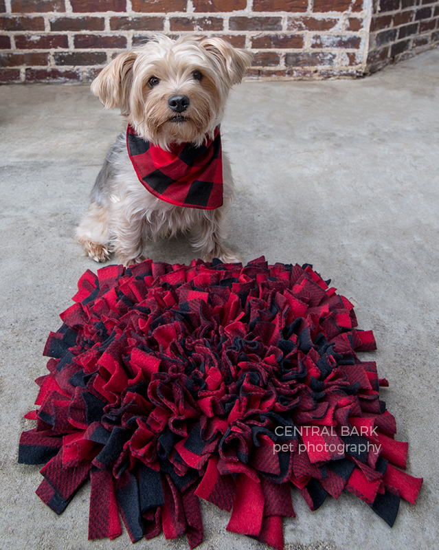 Yorkie wearing red and black bandana sitting next to snuffle mat also in red and black